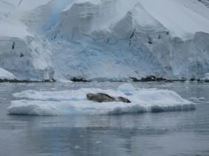Leopard Seal 1