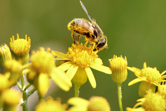 Image of bee and pollen, two common summertime allergens